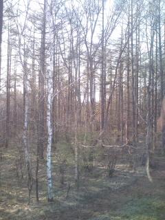 からまつの林